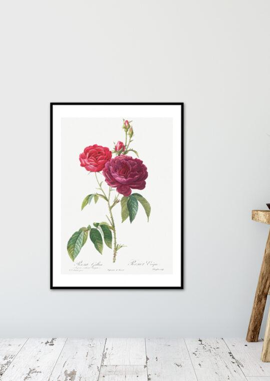 Poster Rosa Gallica - Botanisch Poster 2