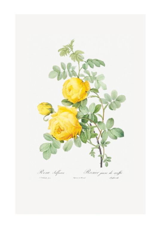 Poster Rosa Sulfur - Botanisch Poster 1