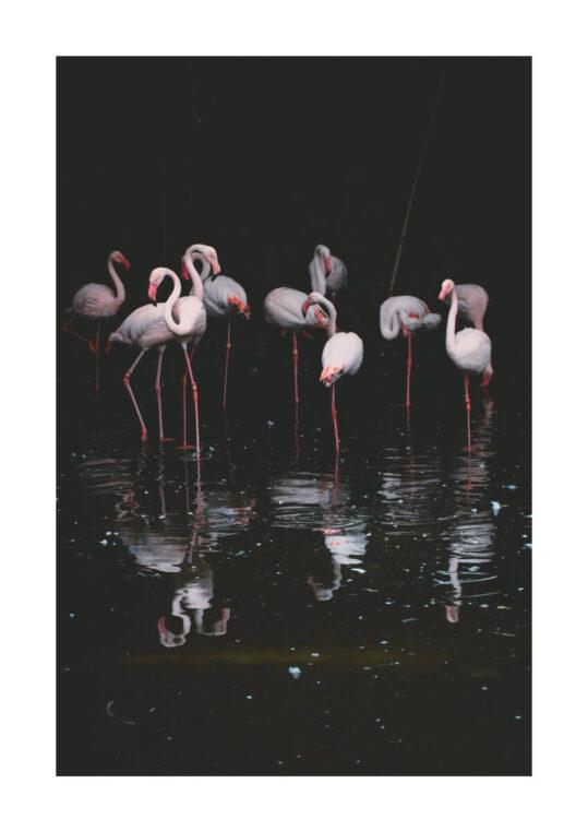 Poster Flamingo Poster 1